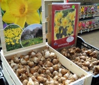 daffodil-bulbs-2