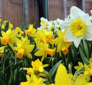 daffodils display