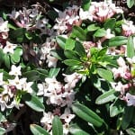 spring flowering shrub, daphne