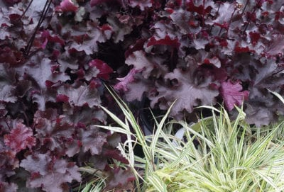 heuchera 'Black Beauty' and golden Japanese forest grass