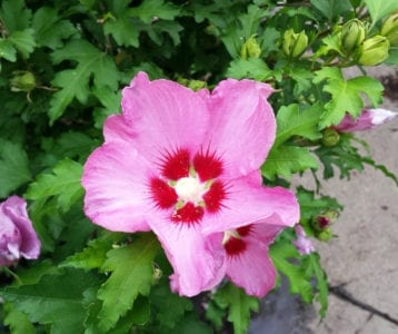 hibiscus hardy pink flower