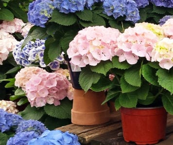 hydrangeas pink blue