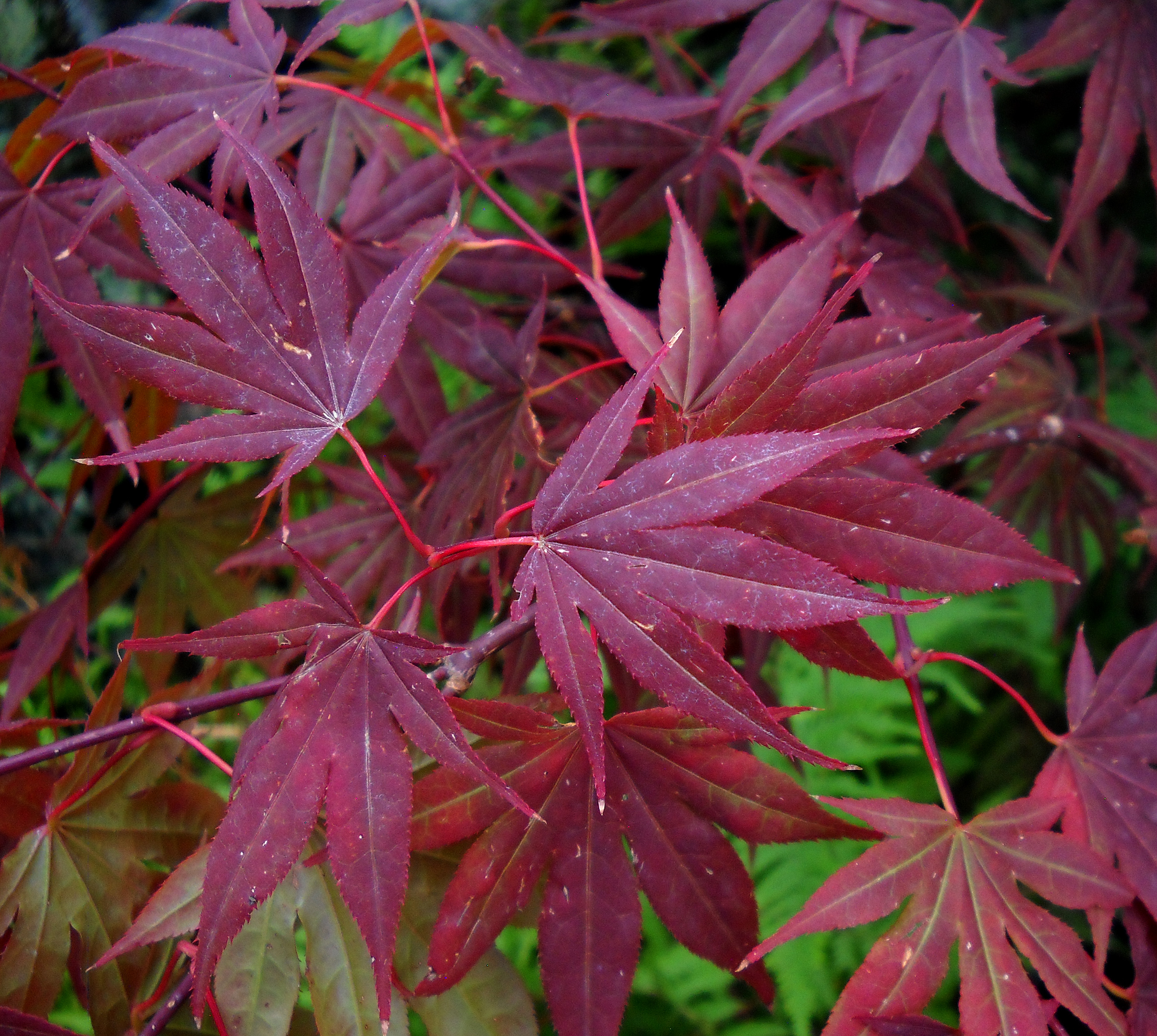 japanese maple leaves 3