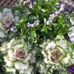 white kale and purple pansies