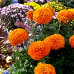 marigolds orange
