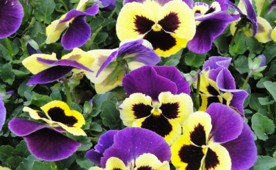 newsletter_pansies