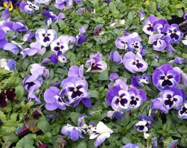 pansies-blue-2