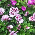 pelargoniums pink