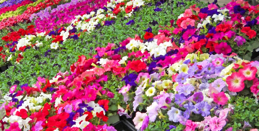 petunias bench