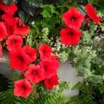 petunias red