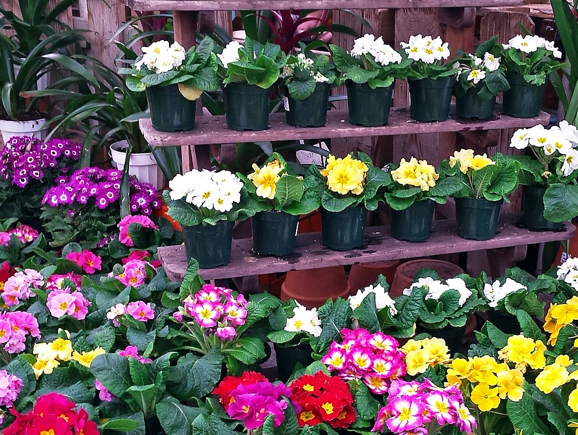 primroses at City Floral Greenhouse, Denver