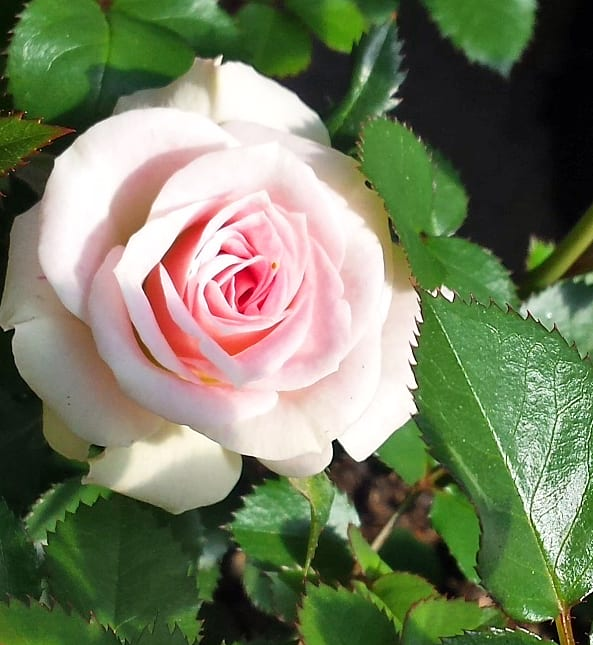 Mature rose bushes for sale