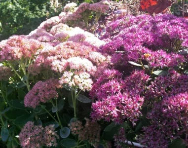 sedum-pink-light-dark-sm