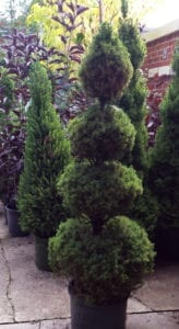shrubs topiary