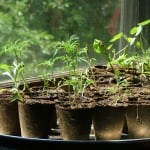 summer seedlings