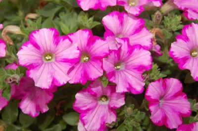 supertunia raspberry blast proven winners