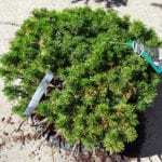 tree sale mugo pine