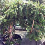 tree sale weeping spruce