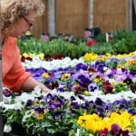 woman shopping for pansies 4 crop