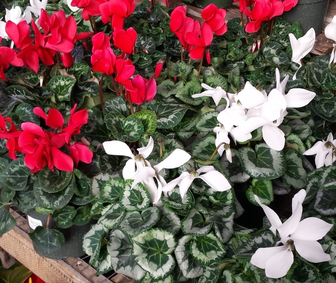 Christmas cyclamens red white
