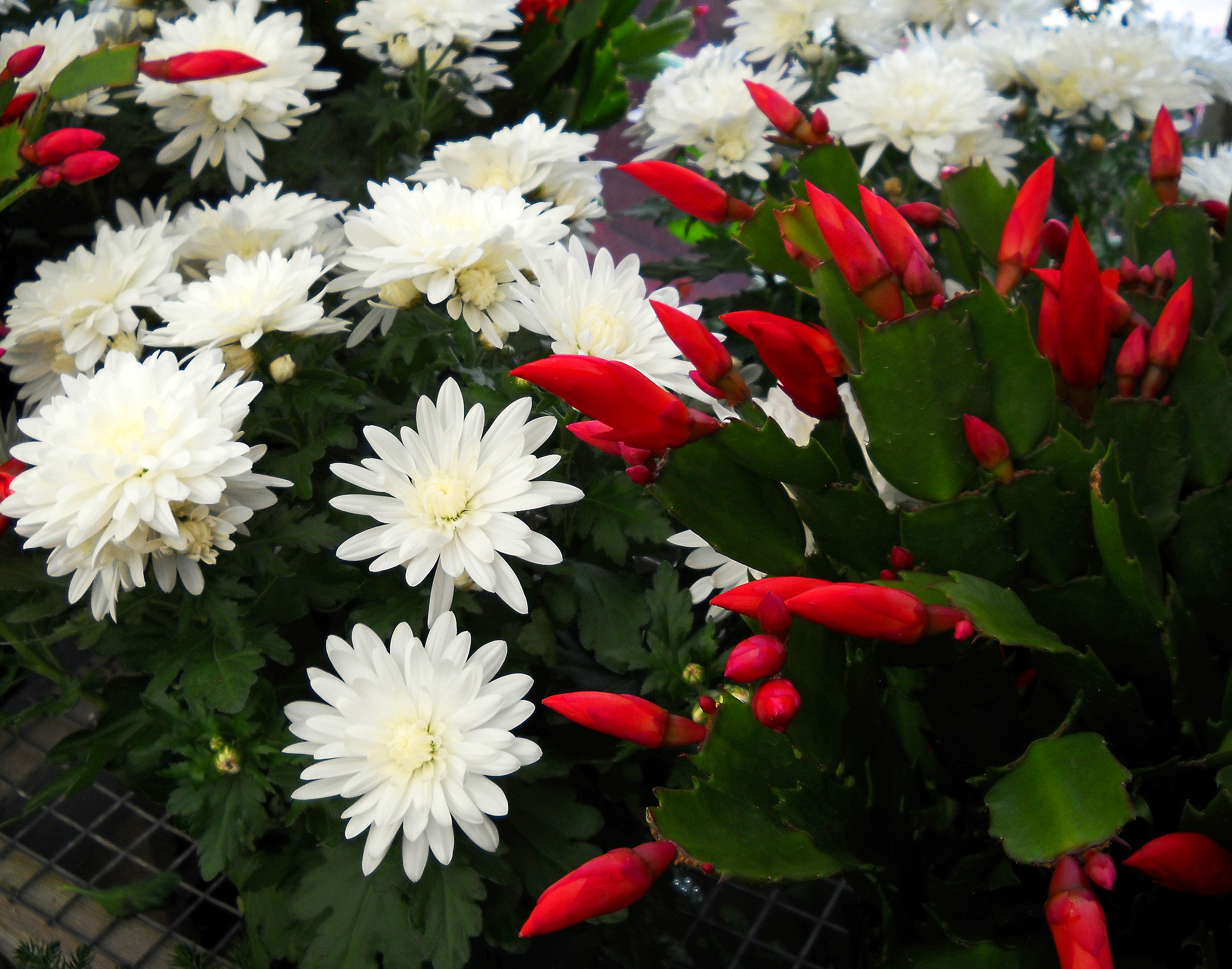 Christmas cactus red and white mums