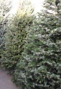 Christmas Trees at City Floral Garden Center in Denver, CO