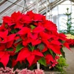 City Floral Garden Center Denver CO Poinsettia Trade-in
