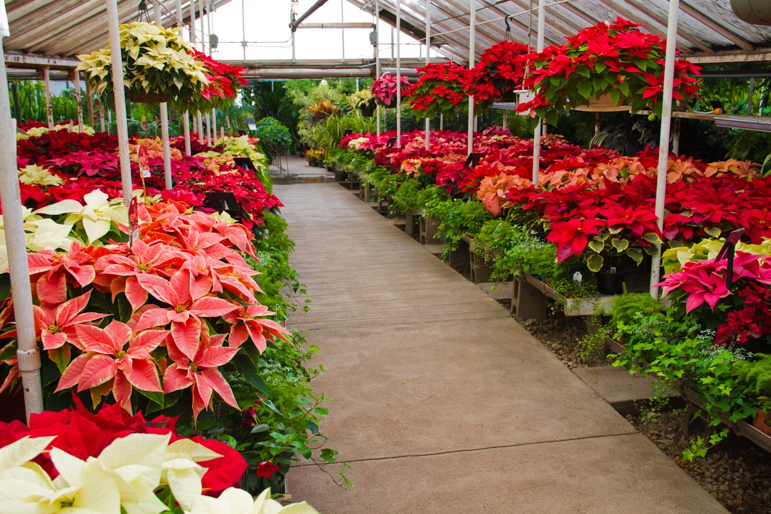 Poinsettia Trade-in Deal at City Floral Garden Center in Denver CO