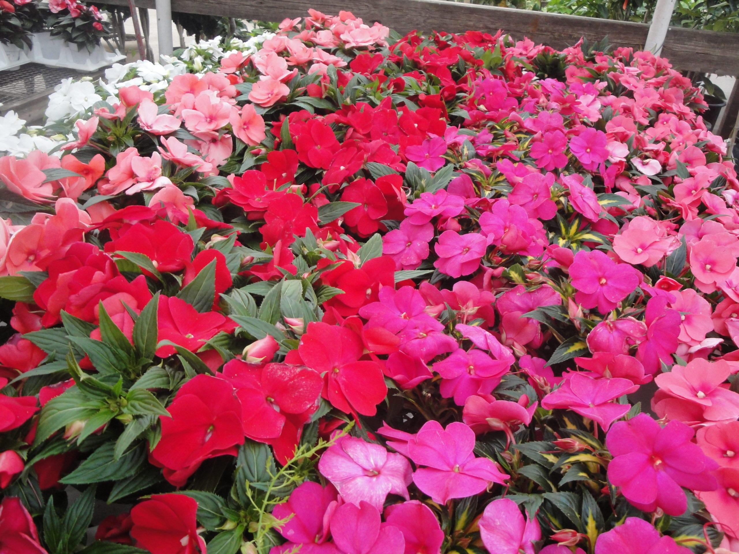 Impatiens at City Floral Garden Center