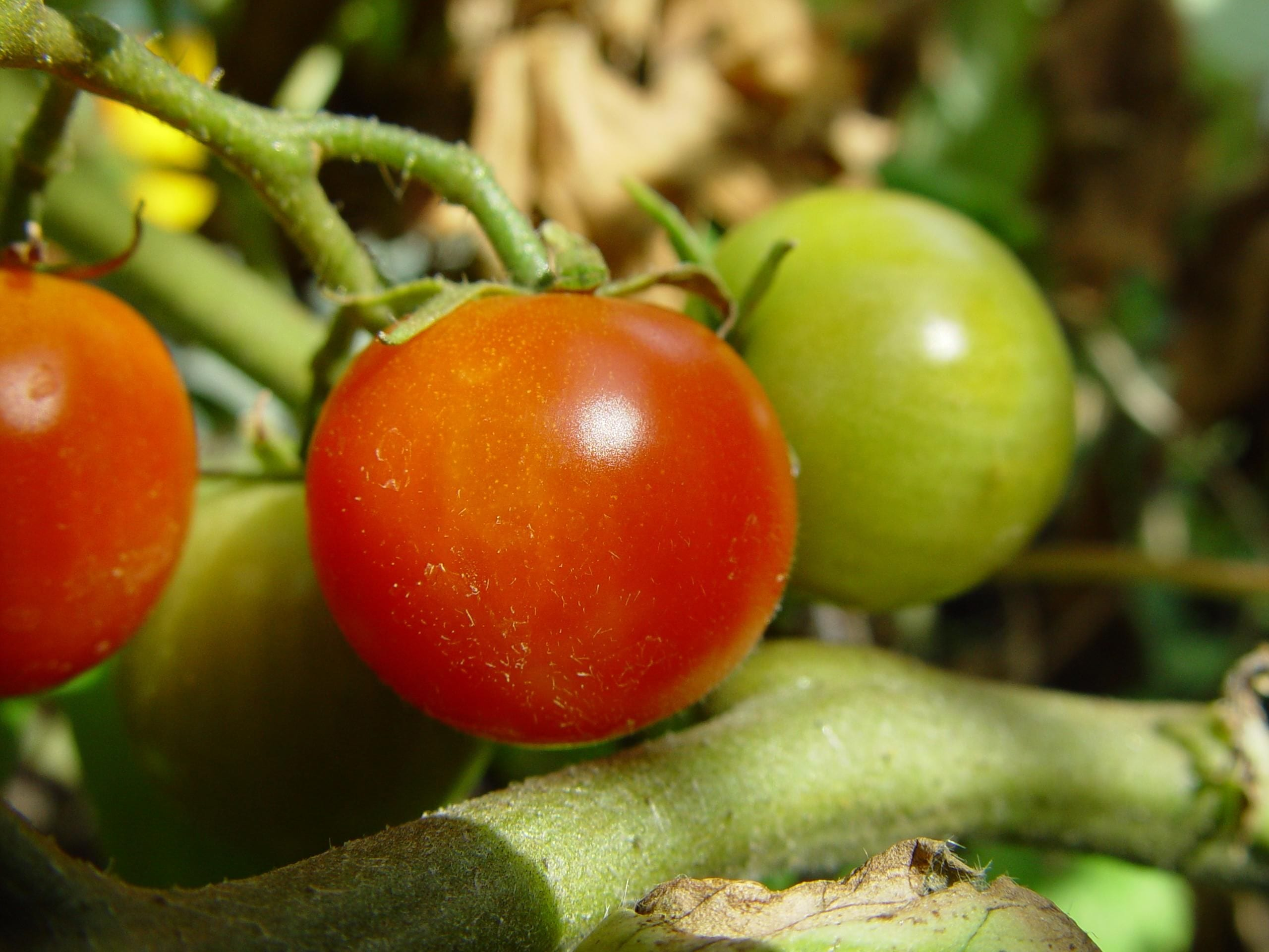 Learn about tomatoes with City Floral Garden Center in Denver