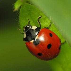 Ladybugs Close-Up