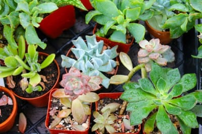 Succulent Plants at City Floral Garden Center in Denver
