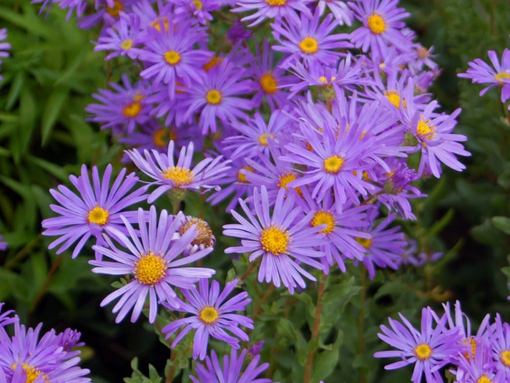 """Asteraceae - Aster amellus"" by Hectonichus - Own work. Licensed under Creative Commons Attribution-Share Alike 3.0 via Wikimedia Commons - http://commons.wikimedia.org/wiki/File:Asteraceae_-_Aster_amellus.JPG#mediaviewer/File:Asteraceae_-_Aster_amellus.JPG"