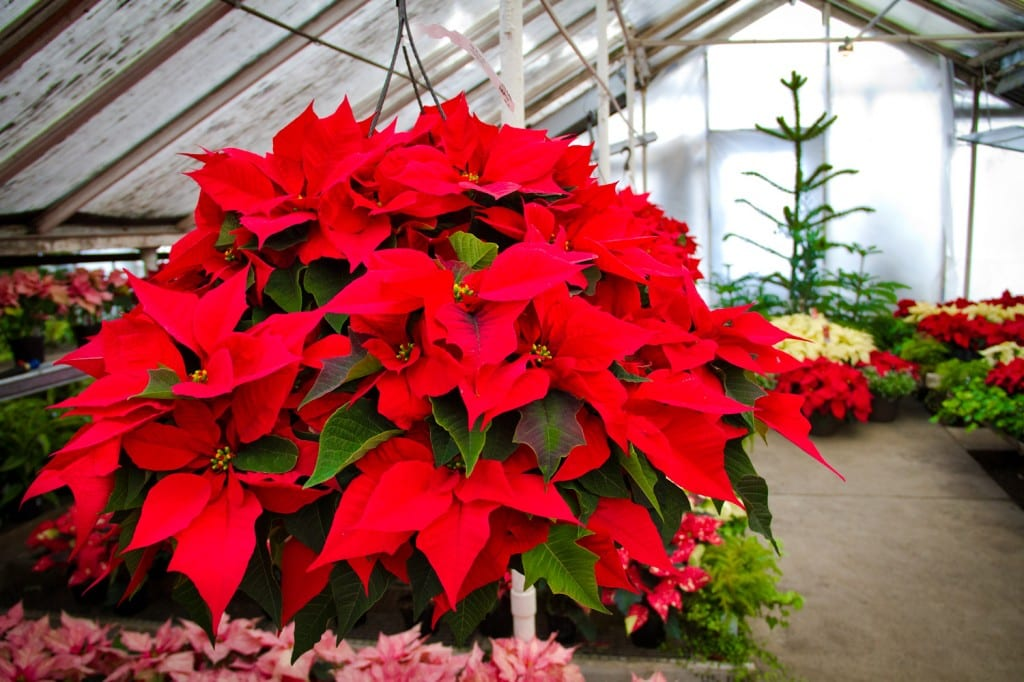 City Floral Poinsettias and Fresh Cut Trees for sale | Denver CO