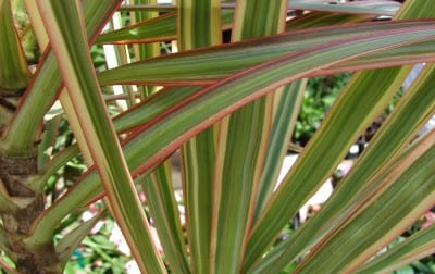 City Floral Plant of the Week: Dracaena Marginata