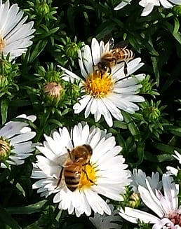 bees aster small