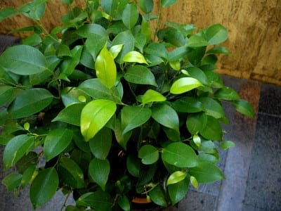 City Floral Plant of the Week: Ficus Benjamina