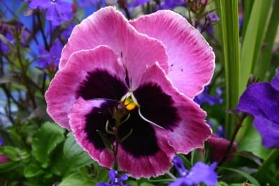 The Mammoth Pansy