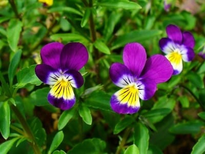 The Tricolor Viola Pansy