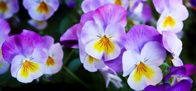 The Whiskers Pansy