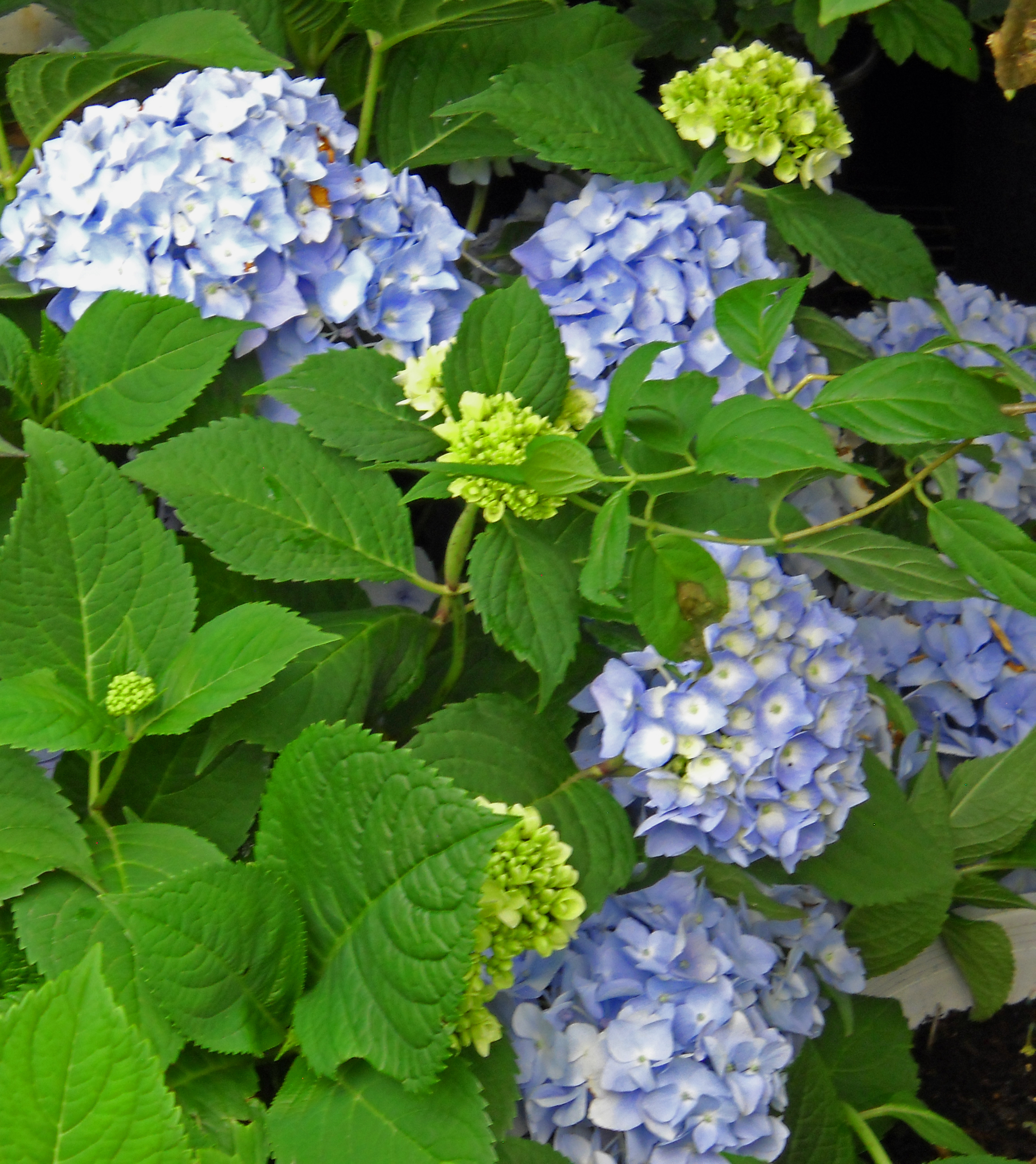 hydrangea blue crop