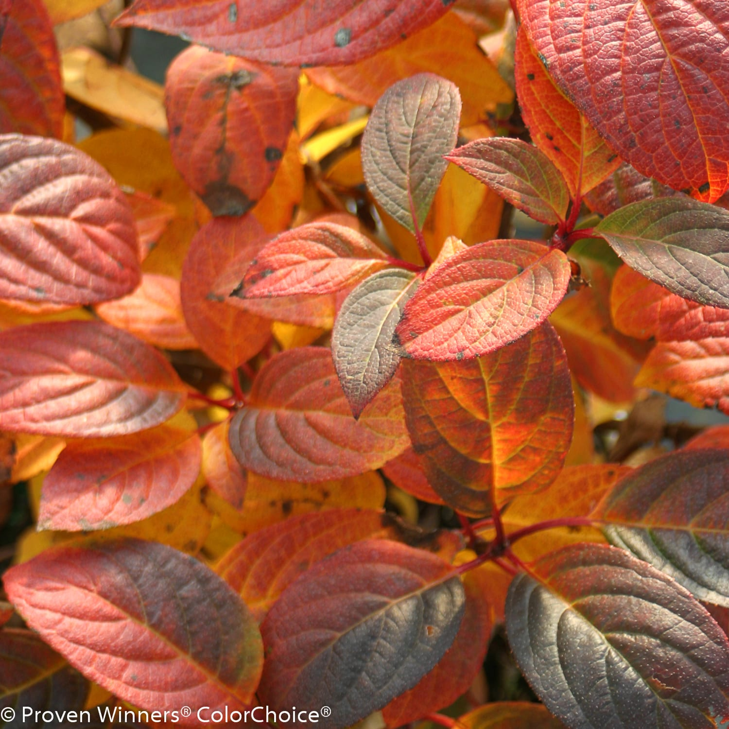 hydrangea quick_fire_fall color 2PW