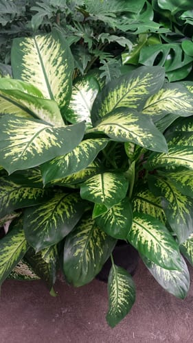 Indoor Plant of the Week Dieffenbachia
