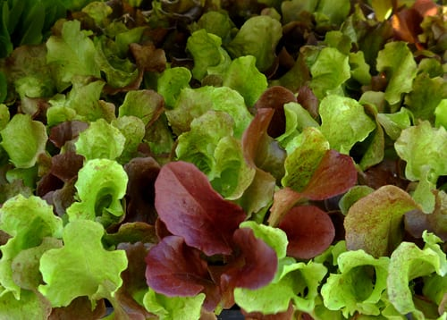 Microgreens and Sprouts – March 22, 2017