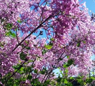 lilac lilac