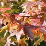 maple-leaves-fall-color-paul-l-mccord-jr-flickrcc2-0