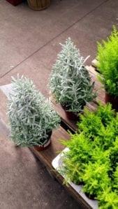 Lavender Plant Denver
