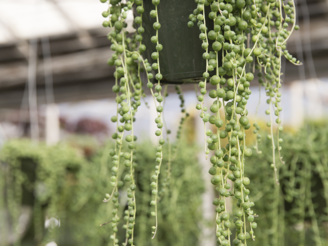 hanging baskets, string of pearls, houseplant, Denver