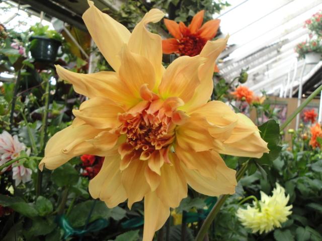 Dahlias at City Floral Greenhouse and garden center