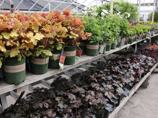 Blooming perennials at City Floral Greenhouse and Garden Center.